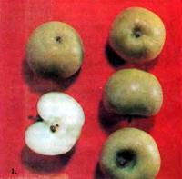 Некоторые перспективные сорта яблок