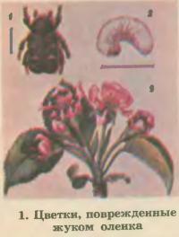 1. Цветки, поврежденные жуком оленка