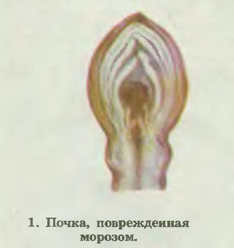 1. Почка, поврежденная морозом