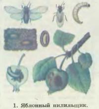 1. Яблонный пилильщик