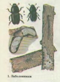 1. Заболонники