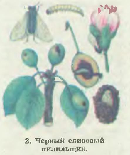 2. Черный сливовый пилильщик