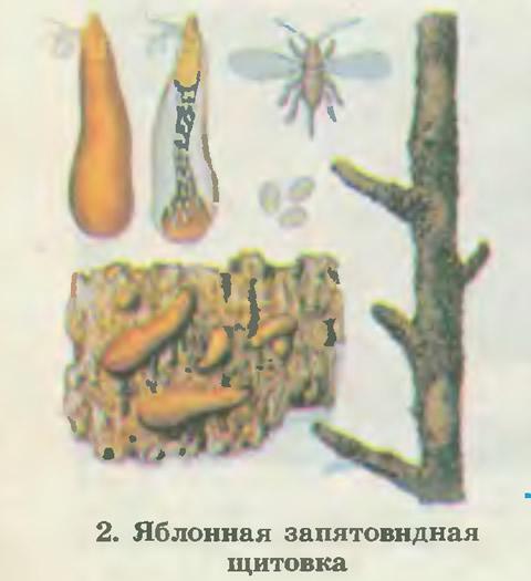 2. Яблонная запятовидная щитовка