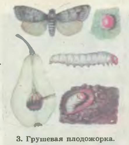 3. Грушевая плодожорка