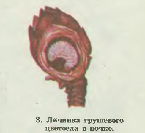 3. Личинка грушевого цветоеда в почке