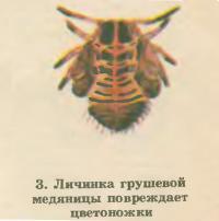 3. Личинка грушевой медяницы повреждает цветоножки