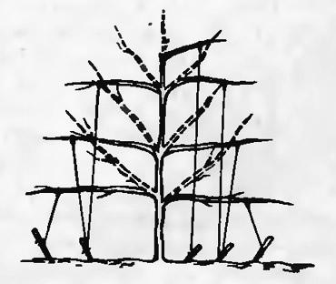 3. Перевод ветвей в горизонтальное положение