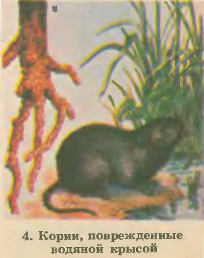 4. Корни, поврежденные водяной крысой