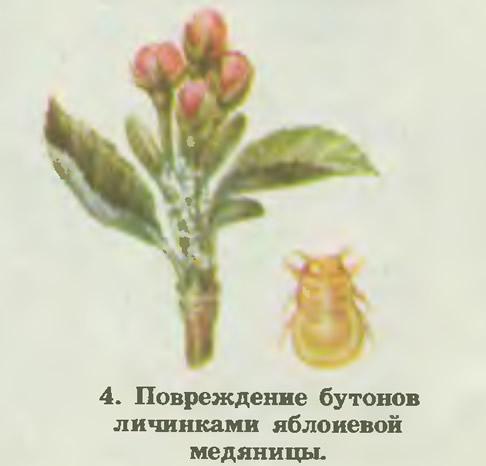 4. Повреждение бутонов личинками яблоневой медяницы