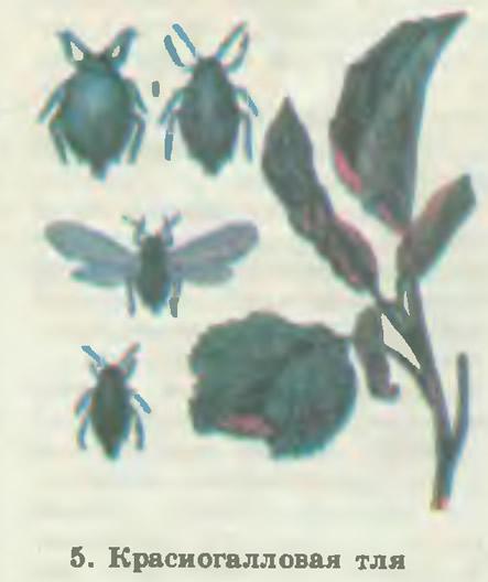 5. Красногалловая тля