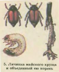 5. Личинка майского хруща и объеденный ею корень