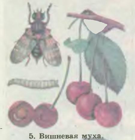 5. Вишневая муха
