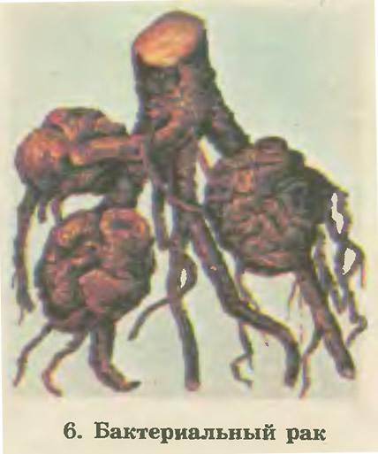 6. Бактериальный рак