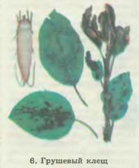 6. Грушевый клещ