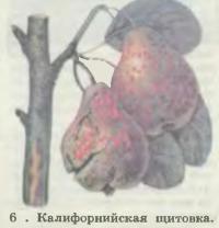 6. Калифорнийская щитовка