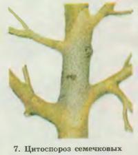 7. Цитоспороз семечковых