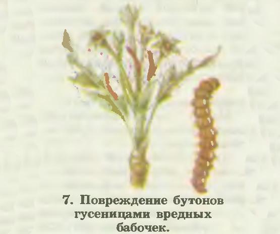 7. Повреждение бутонов гусеницами вредных бабочек