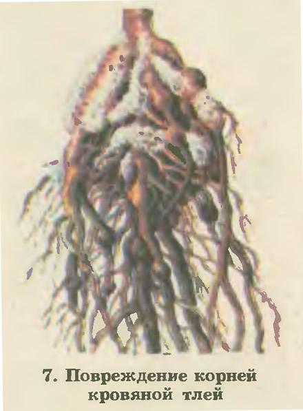 7. Повреждение корней кровяной тлей
