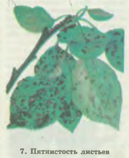 7. Пятнистость листьев