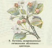 8. Бутоны, поврежденные личинками яблонного цветоеда