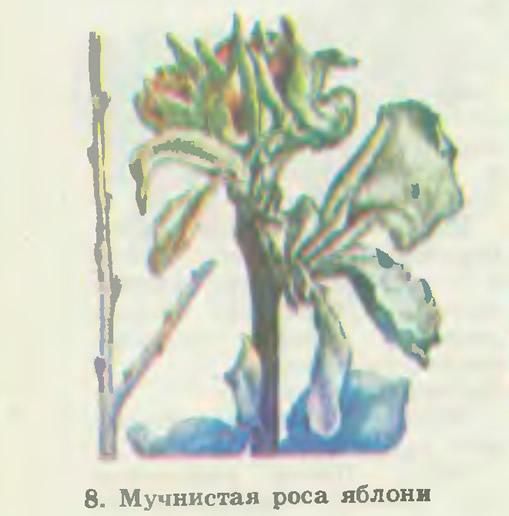 8. Мучнистая роса яблони