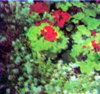 Разведение цветов на садовом участке