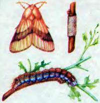 Бабочка и гусеница кольчатого шелкопряда