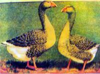 Бойцовские домашние гуси