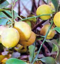 Богатый урожай лимонов