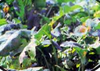 Брюква — ценный овощной продукт