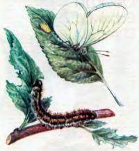 Боярышница бабочка и гусеница