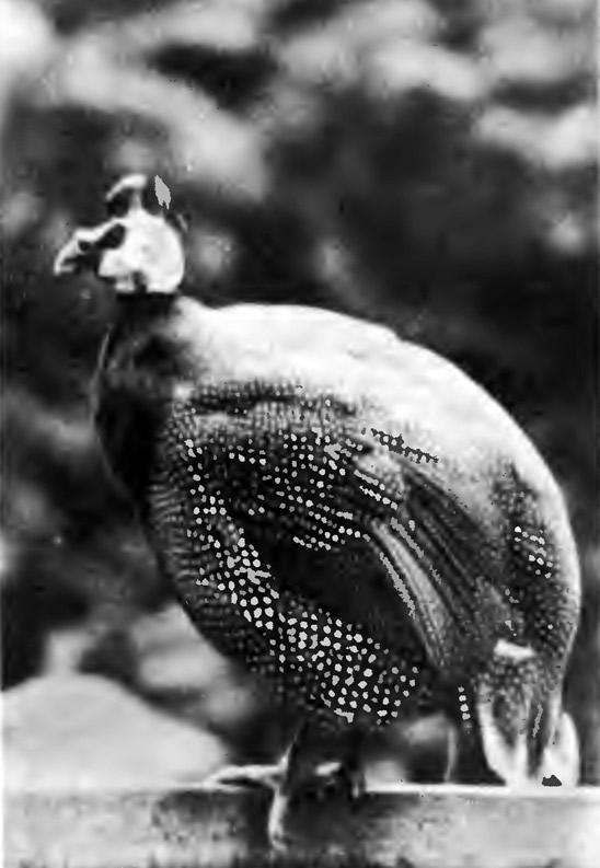Цесарку принимают за горбатую курицу