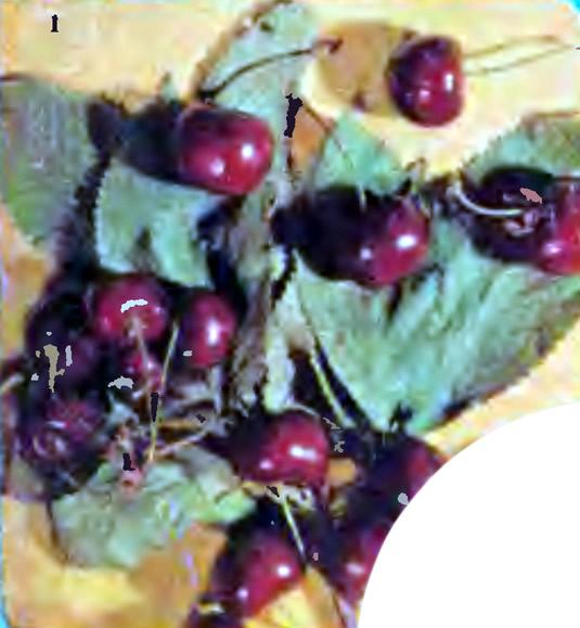Черешня сорта Крупноплодная