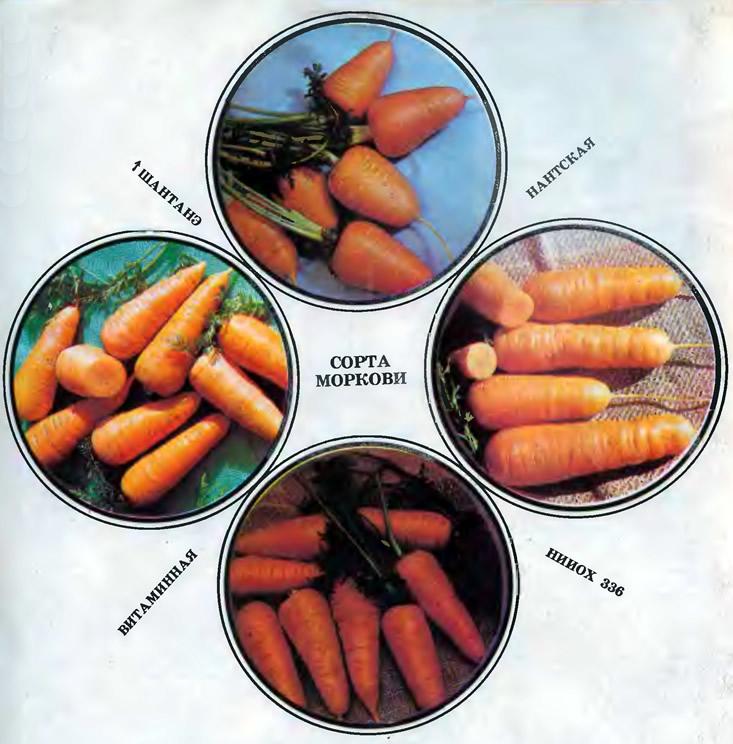 Картинки по запросу Сорта моркови для посева под зиму