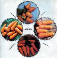 Четыре сорта моркови