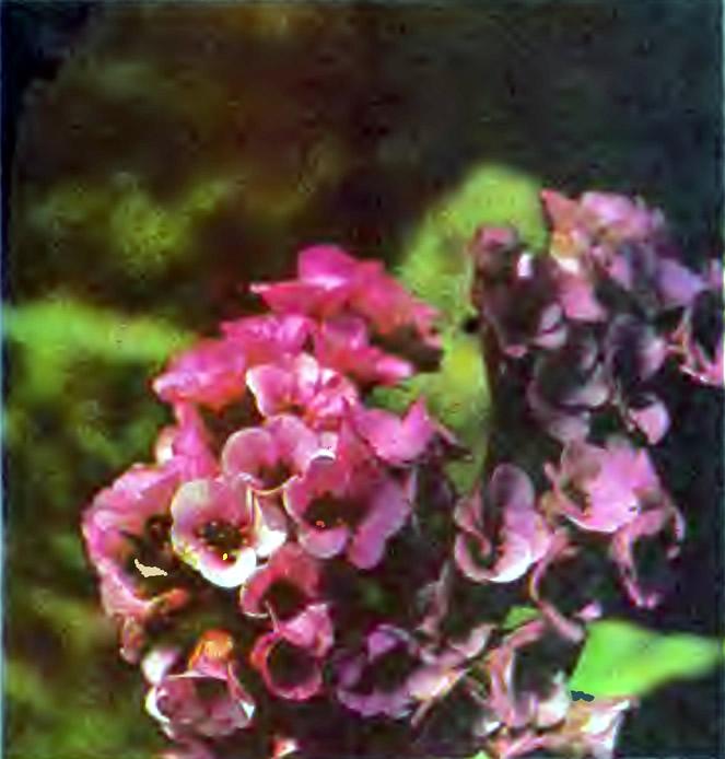 Цветки бадана