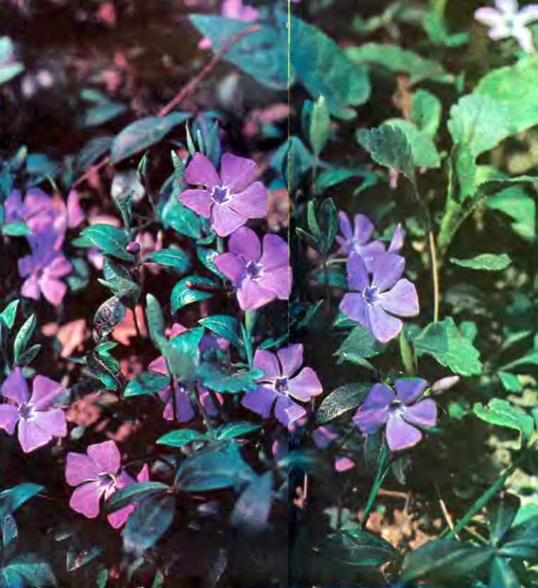 Цветки барвинка