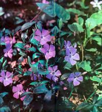 Барвинок малый — многолетнее травянистое растение