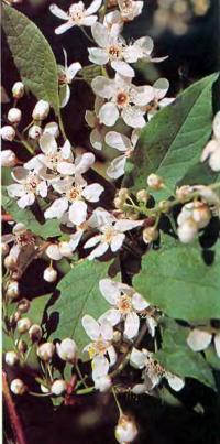 Цветки черемухи обыкновенной