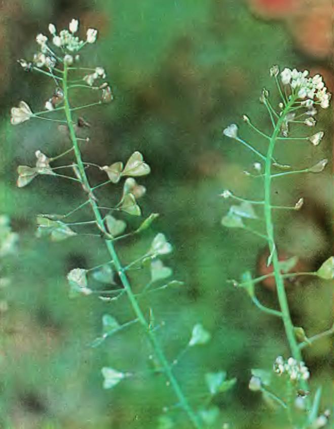Цветки пастушьей сумки