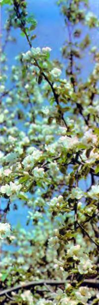 Цветки плодового дерева