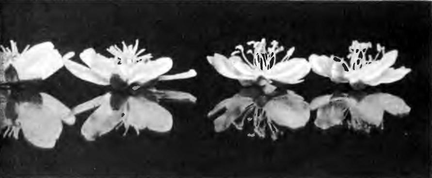 Цветки женских (слева) и мужских растений актинидии иа стекле (внизу их отражение)