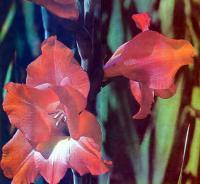 Цветок гладиолуса