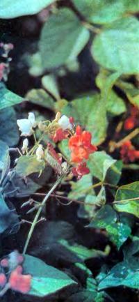Цветущая фасоль