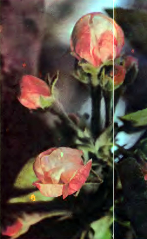 Цветущая яблоня