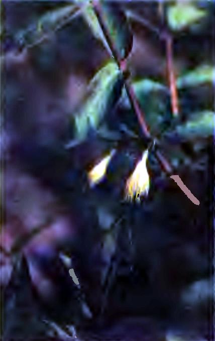 Цветущая жимолость