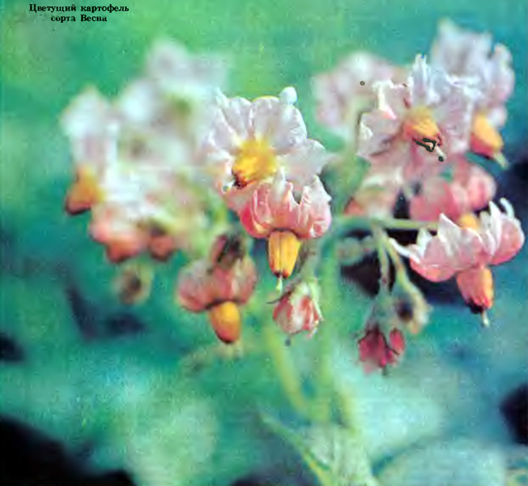 Цветущий картофель сорта Весна