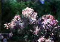 Разведение цветов: флоксы, гладиолусы, пиретрум