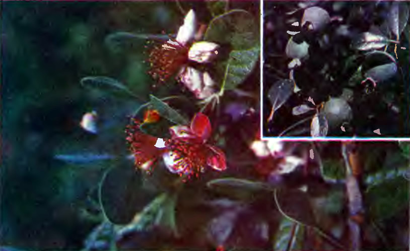 Цветы и плоды фейхоа