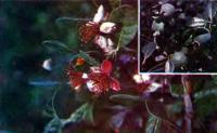 Субтропическое растение фейхоа
